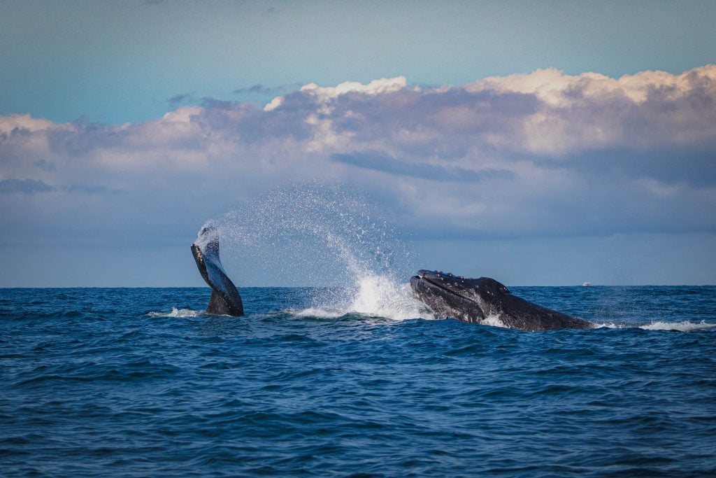 Whales spouting water in Walker Bay, South Africa